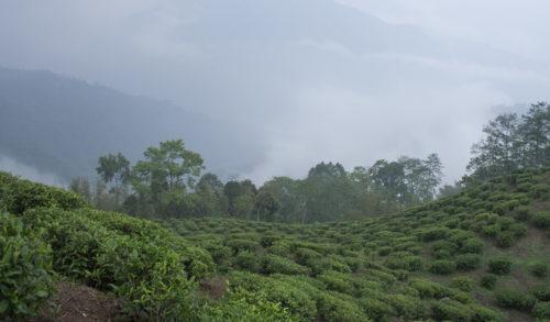Чайные плантации по обочинам дороги