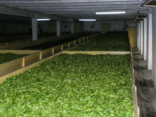 Собранные чайные листья