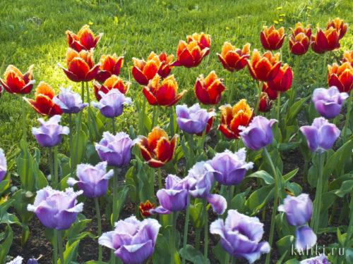 Цветущие тюльпаны в Коломенском
