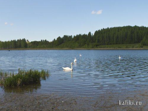 Лебеди на Городищенском озере