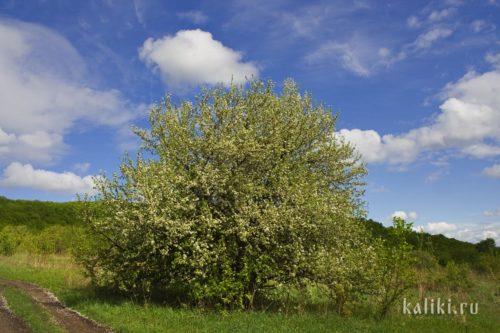 """Цветущая дикая яблоня в национальном парке """"Самаркая Лука"""""""