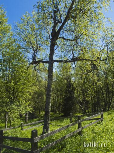 Береза с ветвями в виде креста, растущая у Голгофо-Распятского скита
