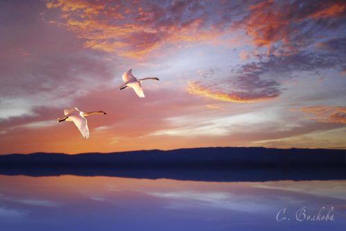 лебеди летят, озеро, берег. небо, облака, закат, картинка