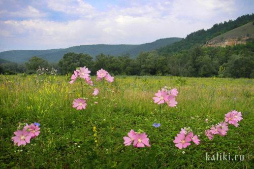 Цветущие мальвы в Жигулевских горах