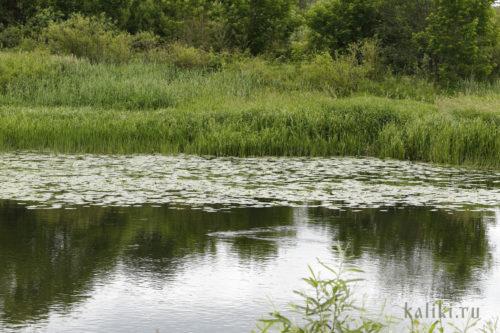 Река Нерль. Кувшинки