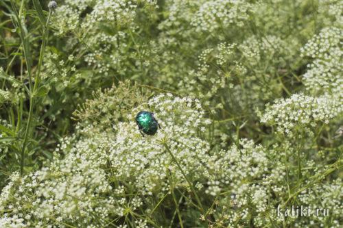 Бронзовка зеленая