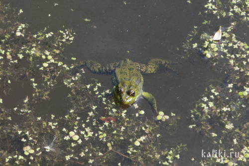 Чернопятнистая лягушка