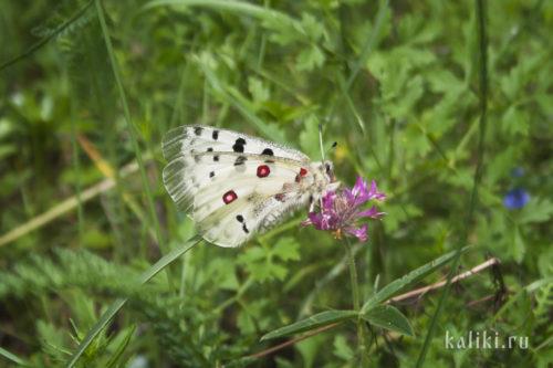 Бабочка Аполлон, исчезающий вид, включен в Красную книгу РФ