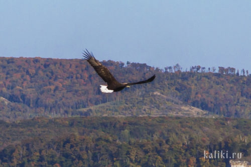 Орлан-белохвост, редкий вид, включен в Красную книгу Самарской области